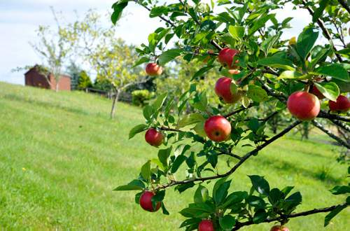 The green valley with Apples