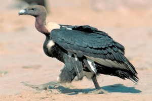 Indian Vulture - Featured image